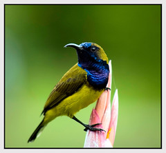 Olive-backed Sunbird (lenkline) Tags: bird nature beautiful singapore botanicgarden sunbird olivebackedsunbird cinnyrisjugularis interestingness21 i500 specnature specanimal explore19nov06 cinnyris animalkingdomelite yellowbelliedsunbird asiansunbird nectariniidae