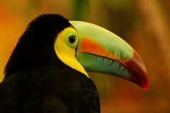 Toucan (ucumari) Tags: november bird animal zoo washingtondc smithsonian toucan nikon 2006 national nationalzoo instantfave instantfav specanimal ucumari animalkingdomelite abigfave p1f1 zoonational ucumariphotography anawesomeshot superapl
