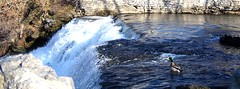 Brave 'Donald Duck' at Top of Falls (Raggs56) Tags: water colors duck rocks rapids overflow glenfalls