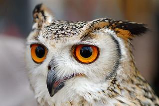 Indian Eagle Owl (star of Harry Potter)