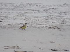 Bem-te-vi perneta (JODF) Tags: praia navegantes santacatarina gaivota quadra bemtevi