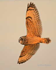 Short-eared Owl #6 by Dan Kaiser (dhkaiser) Tags: county dan flight wing jackson owl bottoms kaiser ewing ias shorteared specanimal