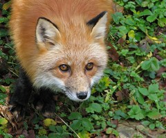 Red Fox 2 (dacardoso) Tags: animal newfoundland fox redfox naturesfinest