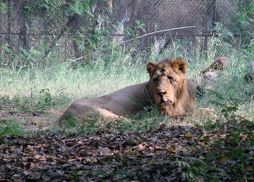 african lion pride. Old African Lion @ National