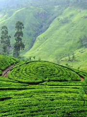 @ at a Tea Estate (Lolitha) Tags: trees green garden estate tea country hill plantation srilanka ceylon lipton thalawakale
