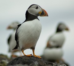 Puffin on a Rock (Magdalen Green Photography) Tags: black bird birds ferry d50 scotland boat fife beak scottish puffin iain puffins anstruther seabirds isleofmay rspb fraterculaarctica featheryfriday atlanticpuffins royalsocietyfortheprotectionofbirds httpwwwcoolpuffinscouk