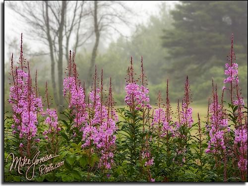 Foggy Wildflowers