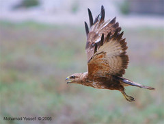 Long-legged Buzzard (dawey [Mohammad Alhameed]) Tags: bird birds canon wildlife canon20d buzzard  100400mm picturecollection vwc longlegged accipitriformes  birdfinders  acciptridae kuwaitvoluntaryworkcenter  photovwc kuwaitvwc