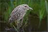 Too Close (Chris Lue Shing) Tags: olympusep1 nikon50mmeseries bird aurora ontario nokiidaatrail mckenziemarsh nature ©chrislueshing closeup blackcrownednightheron heron bokeh animal olympus ep1