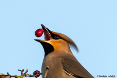 dont mess with your food (blackfox wildlife and nature imaging) Tags: canon 80d sigma150600mmossport waxwing wales wildlife stasaph wintermigrant berries