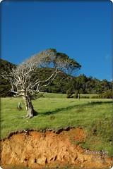Manuka Tree