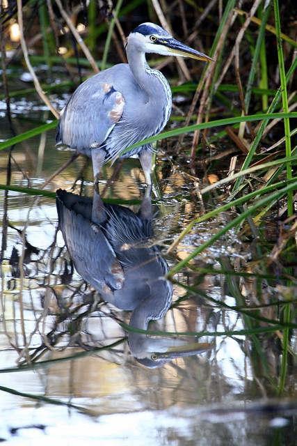 Great Blue Heron (Ardea herodias) at Sweet Springs Los Osos CA Great Blue Heron _MG_3093 by mikebaird