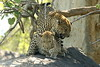 Mating leopards (Peet van Schalkwyk) Tags: leopard mating southafrica knp bigfive