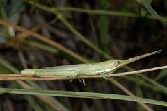 Paropomala wyomingensis (Wyoming toothpick grasshopper) (tigerbeatlefreak) Tags: outdoors wildlife insects bugs grasshopper orthoptera animalia arthropoda insecta pterygota gomphocerinae caelifera neoptera exopterygota