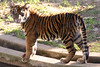 One of the Cubs (MNesterpics) Tags: animal animals cat cub washingtondc smithsonian dc districtofcolumbia tiger 2006 bigcat nationalzoo sumatrantiger kiss2 smithsoniannationalzoologicalpark kiss3 kiss1 kiss4 animaladdiction kiss5 flickrphotoaward