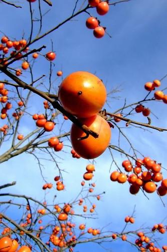 柿│食べ物│無料写真素材