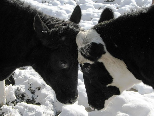 Cows in Love Close-up