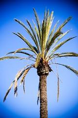 I Can't Be What I Was (Thomas Hawk) Tags: blue sky tree boots marin palm palmtree marincounty sanrafael