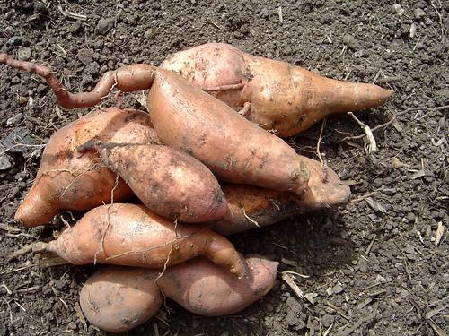 DSC02384 - sweet potatoes