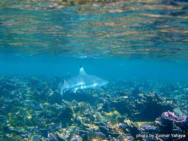 Perhentians Snorkelling Blactip Reef Shark