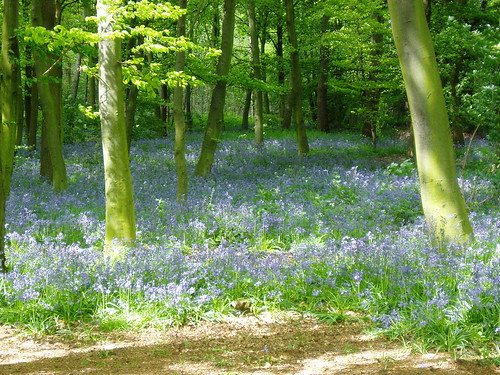 Bluebell wood with dappled light