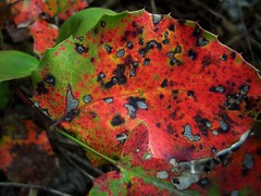 Killing zone (Amber *) Tags: red urban color macro leaf holly loveit fungus picsflickrmemberscommentedon thecommentaryset leafygoodnessset