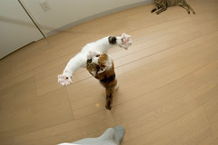 DSC_4700 (junku) Tags: cats topf25 cat fun jump jumping topv555 nikon kitten d70 interestingness1 kitties topv9999    fuwari airbornecat airbornecats