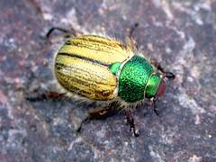 beetle (Mary Hockenbery (reddirtrose)) Tags: macro green bug beetle paracotalpapuncticollis jewelscarab