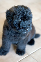 Raffy the Puppy (inaudible) Tags: puppy dog animal bouvier lenstagged raffy bouvierdesflandres canon50f18