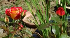 BevyOfBetties_1897-full (Ranj Niere) Tags: floraandfauna may05