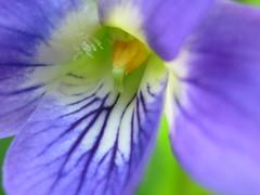 linguaccia   :P (Vir gin ia) Tags: flower ilovenature purple fiore viola ccmpclosencounter