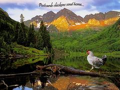 chicken postcard - by Finntasia