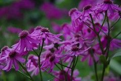 Purple plants that I'm always forgetting its name (Thystle) Tags: purble flower