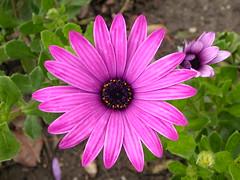 Lovely daisy ( Graa Vargas ) Tags: pink flower daisy africandaisy margarida graavargas 10305150411 2005graavargasallrightsreserved