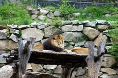 Lion Loft (Ninox) Tags: animals localzoo