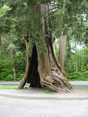 Big Red Cedar in Stanley Park, Vancouver, B.C. - by **Mary**