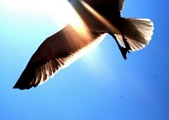 Icarus... (slight clutter) Tags: sun bird wings seagull gull topv1111 iloveflickr icarus topf150 slightclutter katyahorner slightclutterphotography