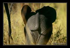 ABUNDÂNCIA (bocavermelha-l.b.) Tags: elephant film tail fotolog safari afszoomnikkor500mm14d afiteleconvertertc20e loxodonta–africana full–frame tushy itsong–invite arkofwildlife itsong–wildafrica itsong–nikonf5 bum–bum abundância hwange–zimbabwe makalolo inafrica z5oo shootingwithnikonf5