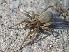 Female Wolf spider on sidewalk
