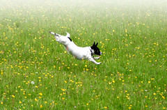 Susie Through the Flowers (cenz) Tags: dog pets topv111 jack happy fantastic jump jumping russell joy meadow jackrussell susie ashridge cenz