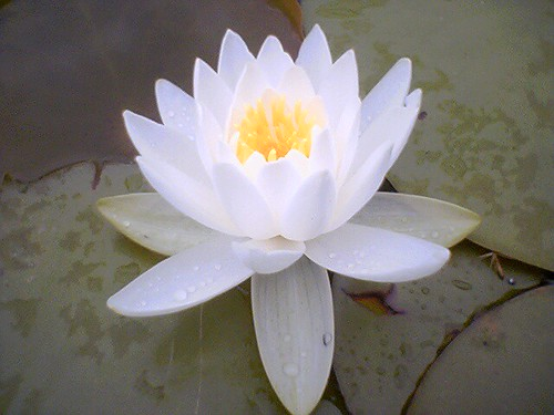 Lotus flower by wasoxygen, on Flickr