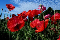 Poppy Reds (CountryGuys) Tags: flowers sky tag3 taggedout clouds tag2 tag1 poppies reds