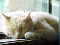 I know a cat twice as hard (strph) Tags: 2005 sleeping window cat crookshanks toriamos dust windowsill catsandwindows