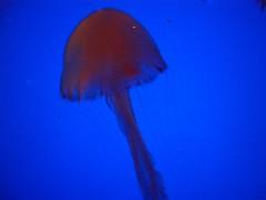 Jellyfish (Spacecake) Tags: jellyfish underwaterworld sentosa singapore
