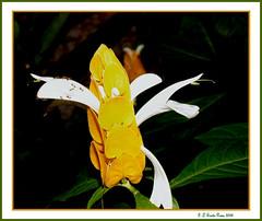 Camaro   DSCF0561_87 (SantaRosa OLD SKOOL) Tags: flores folhas brasil riodejaneiro ilha guanabara governador flowers flres rio ilhadogovernador baa