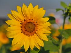 sunflower (xytr99) Tags: yellow green 景深 light taiwan olympus