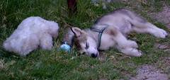 Me and My Teddy (Zulpha) Tags: bear dog puppy toy husky nap teddy sleep skazi