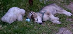 Me and My Teddy (Zulpha) Tags: bear dog puppy toy husky nap teddy sleep skazi