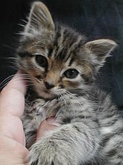 Tiny Moka (roscodebosco) Tags: cats cute cat kitten tabby kitty moka catsandwindows