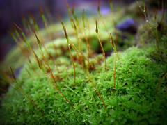Faerie-Knoll 2 (Dave Ward Photography) Tags: usa macro nature closeup forest us washington moss woods flora unitedstates unfound 2006 fairy bellingham wa fairies faerie faeries microlandscape whatcom sporophyte davewardsmaragd sporophytes pss:opd=1138667238 pss:opd=1138580614